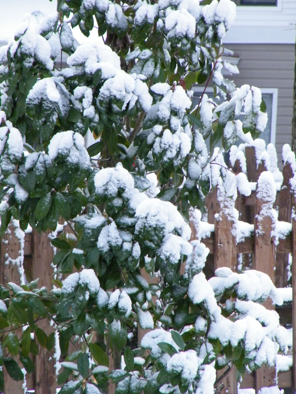 big snow bush